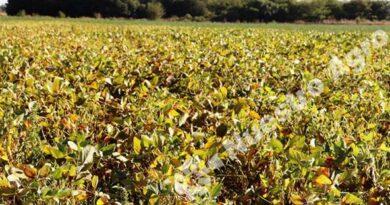 Expertos detectaron trips en soja por la zona de Oliveros