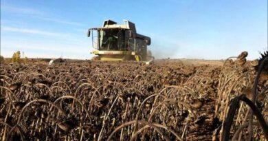 La cosecha de girasol argentina alcanzó el mejor rinde de las últimas 20 campañas