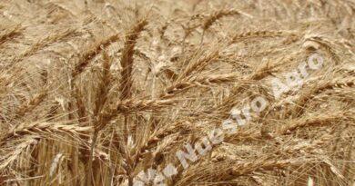 La Bolsa de Cereales vaticina una gran campaña de trigo en Argentina, con una producción récord