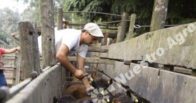La vacunación contra la Fiebre Aftosa mostró un aumento de cabezas en el Departamento Castellanos