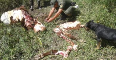 Un productor de Rafaela sufrió siete casos de abigeato en 20 días