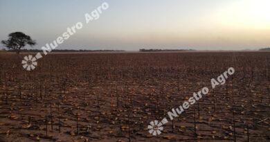 Denunciaron que un incendio intencional arrasó con 800 hectáreas de maíz en Santiago del Estero