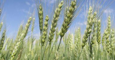 En la zona núcleo, se registró el mayor progreso de siembra de trigo de las últimas cinco campañas