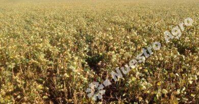 Por la falta de precipitaciones, la BCR recortó fuertemente sus estimaciones para la producción nacional de soja