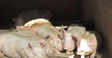 De la mano de capitales chinos, Santa Fe apuesta por la producción porcina y la exportación