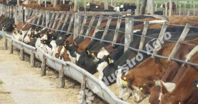 Luces y sombras para las carnes, principal destino del maíz en la Argentina