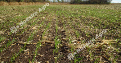 La falta de lluvias acecha al trigo y obliga a reducir la proyección del área sembrada a nivel nacional