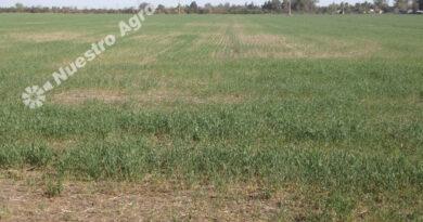 El clima golpea al trigo y la BCR reduce la estimación de producción nacional