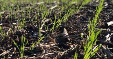 Las lluvias decepcionaron y cada vez son más las hectáreas con trigos regulares o malos en la Zona Núcleo
