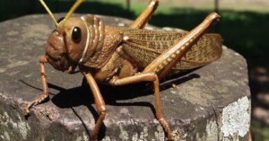 Alerta fitosanitaria en todo el país por la plaga tucura quebrachera