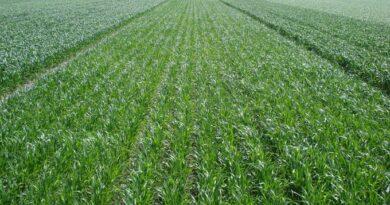 El trigo de la región da respuestas luego de las lluvias, pero comienza a lidiar con las enfermedades