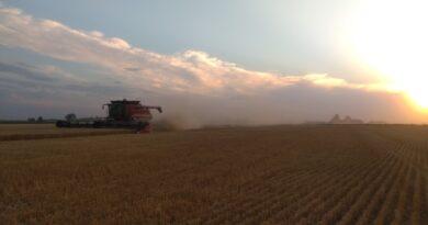 Con la mitad del área cosechada, se consolida la baja performance del trigo en el centro norte santafesino