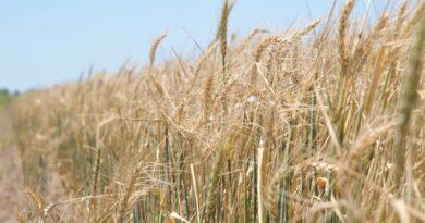 """Para la BCR, """"se espera la peor cosecha de trigo en los últimos cinco años"""""""