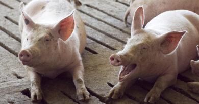 Porcinos: modelos sustentables para el Acuerdo con China