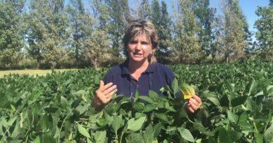 Enfermedades de la soja: dónde poner el foco en un año Niña que presenta precipitaciones