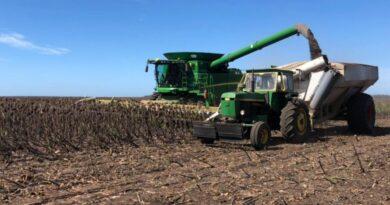 La cosecha de girasol en el centro norte santafesino arrojó el volumen más bajo de las últimas cinco campañas