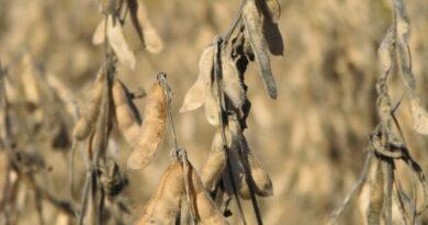 La BCR confirmó día y horario para el remate del primer lote de soja de la campaña
