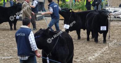 """""""Tropezar con la misma piedra"""", fuerte rechazo de las razas bovinas a la medida oficial"""