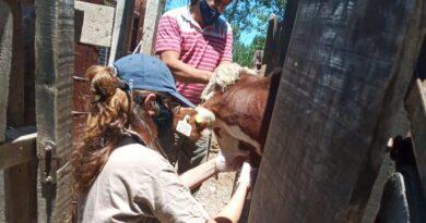 Fiebre aftosa: se llevan vacunados más de 50 millones de bovinos en la primera campaña