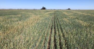 """Aseguran que en la región núcleo el trigo """"está en jaque"""" por la falta de agua"""